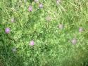 englandflower_redfern